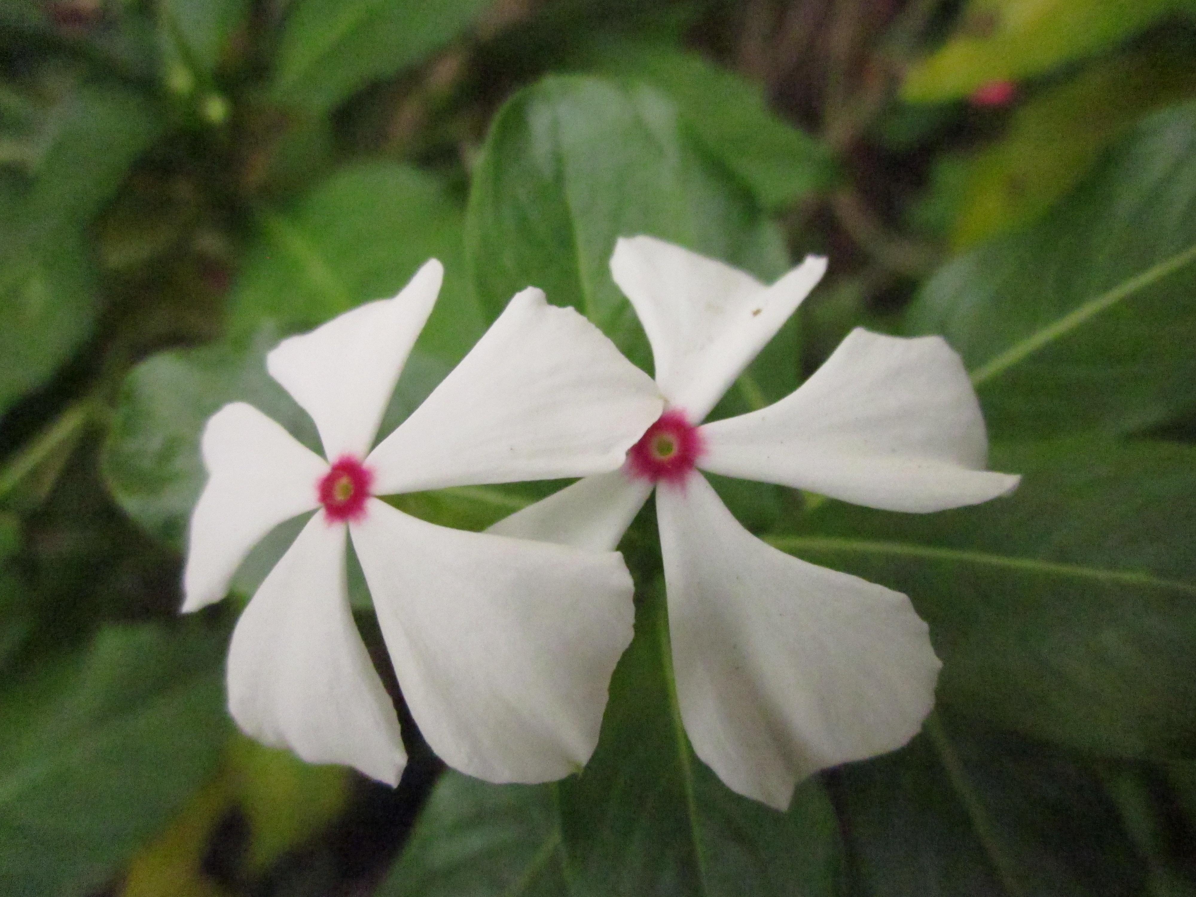 twins flower