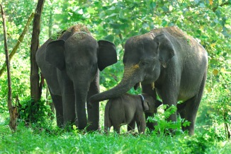 gambar-gajah-sumatra